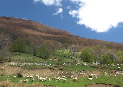 Pašnjak s ovcama